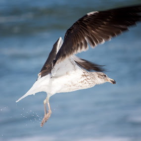 Seagull by Malan Lombard - Animals Birds ( water, bird, flight, seagull, fly, young )