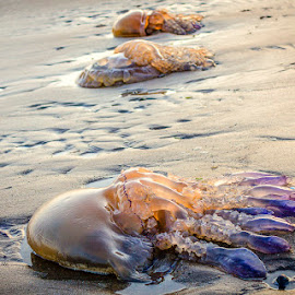 by Valerie Sweeney - Animals Sea Creatures ( water, portuguese man of war, beach, jellyfish )