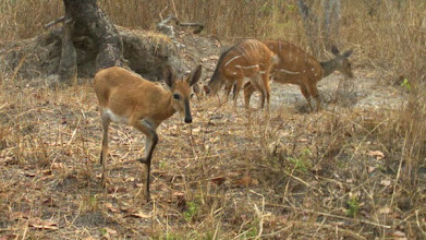 Photo: Female duiker waits for bushbuck family to leave Fêmea de bambi aguarda a saída da família golungo