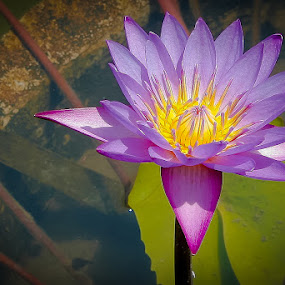 Violet Lotus by Roland Roger - Nature Up Close Flowers - 2011-2013
