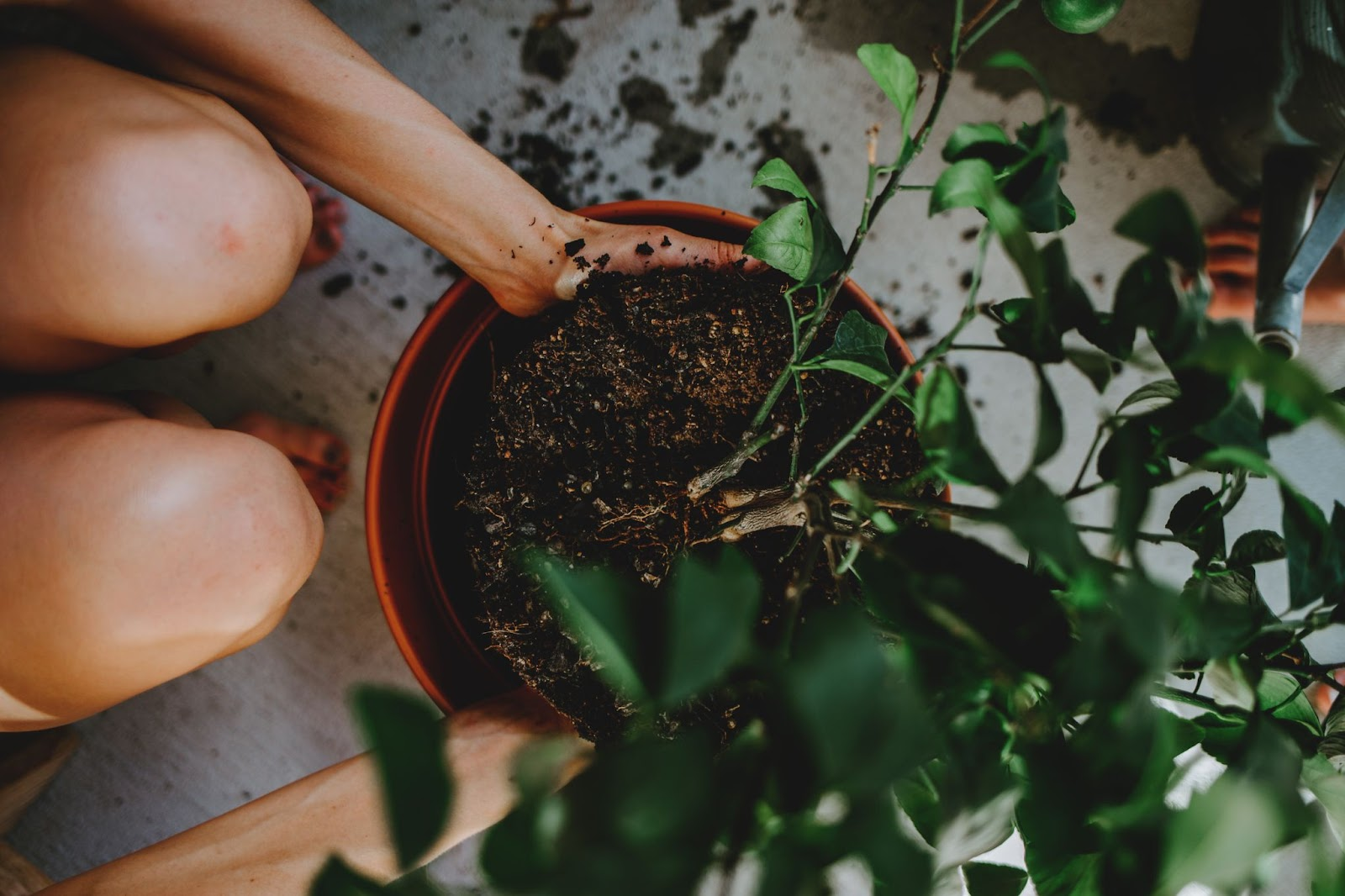 Image of person showing how to repot a plant by putting new plant in pot.