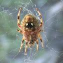 brown orb weaver spider