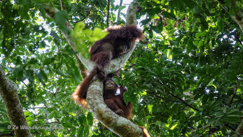 How to Organize your Trip to See Wild Orangutans in Kutai National Park // Orangutan baby and mother