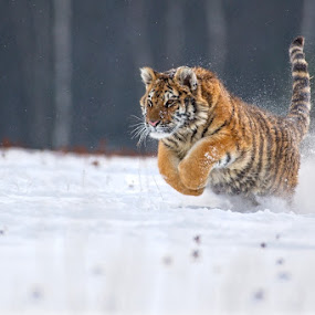 Running guy by Bencik Juraj - Animals Lions, Tigers & Big Cats ( beast, big cat, winter, tiger, running,  )