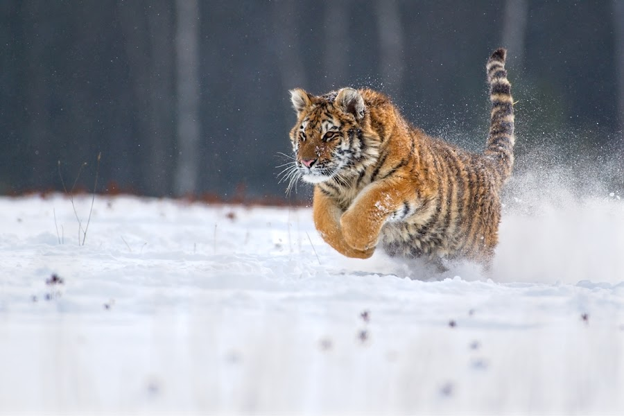 Running guy by Bencik Juraj - Animals Lions, Tigers & Big Cats ( beast, big cat, winter, tiger, running,  )