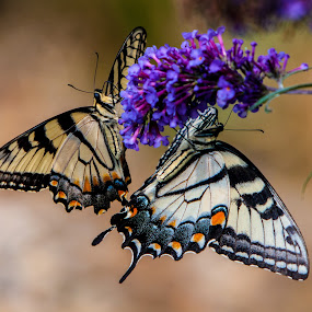 Double Butter by Dave Dabour - Animals Insects & Spiders ( butterfly, tiger, flower,  )