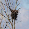 Bald Eagle (Nest)