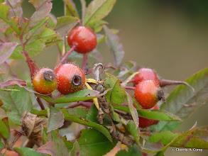 Photo: Swamp rose hips