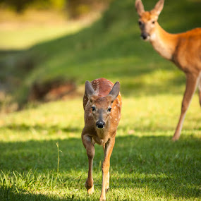 Run to Me by Jay Huron - Animals Other Mammals ( pwcbabyanimals, faun, baby, deer, animal, motion, animals in motion, pwc76,  )