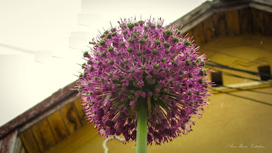 Photo: Ceapă  decorativa (Allium) - din Turda, Str. Salinelor, la o curte - 2019.05.05