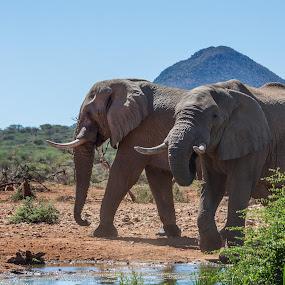 Elephants by Ada Louw - Animals Other
