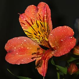 by Carmen Quesada - Flowers Single Flower ( single, petals, drops, flower, multicolored )