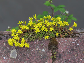Photo: 2 Jul 13 Priorslee Flash: Biting Stonecrop or Wallpepper (Sedum acre): common in rocky places and here growing in the gaps in the wall along Derwent Drive at The Flash. (Ed Wilson)