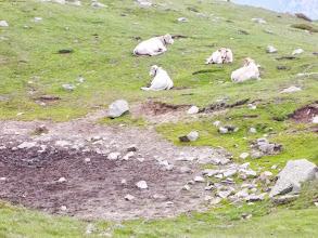 Photo: La Sieste des vaches