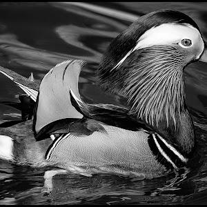 Mandarin Duck-56.jpg