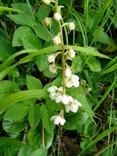 Photo: Hruštička, poloparazitická rostlina