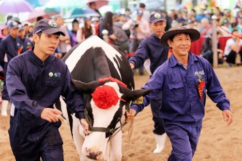 Du lịch Mộc Châu, hội thi hoa hậu bò sữa 2