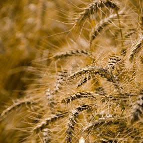 Wheat field by Khawaja Hamza - Nature Up Close Gardens & Produce ( wheat, field )