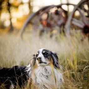 by Tara McKenzie - Animals - Dogs Portraits ( #farmlife, #dog, #australianshepard, #farm, #fall, #wagonwheels )