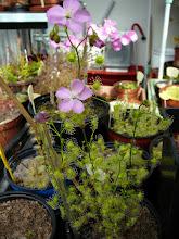 "Photo: Drosera stricticaulis ""robust form"""