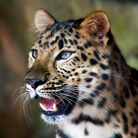 amur leopard by Brook Kornegay - Animals Lions, Tigers & Big Cats ( big cat, wildlife, amur leopard, portrait, leopard, animal,  )