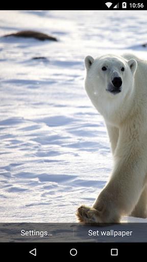 Polar Bear Live Wallpaper HD