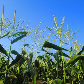 Corn fields in my village by Jumari Haryadi - Nature Up Close Gardens & Produce ( field, nature, fresh, cornfield, green )