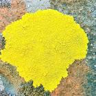 Gold cobblestone lichen