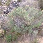 green rabbitbrush