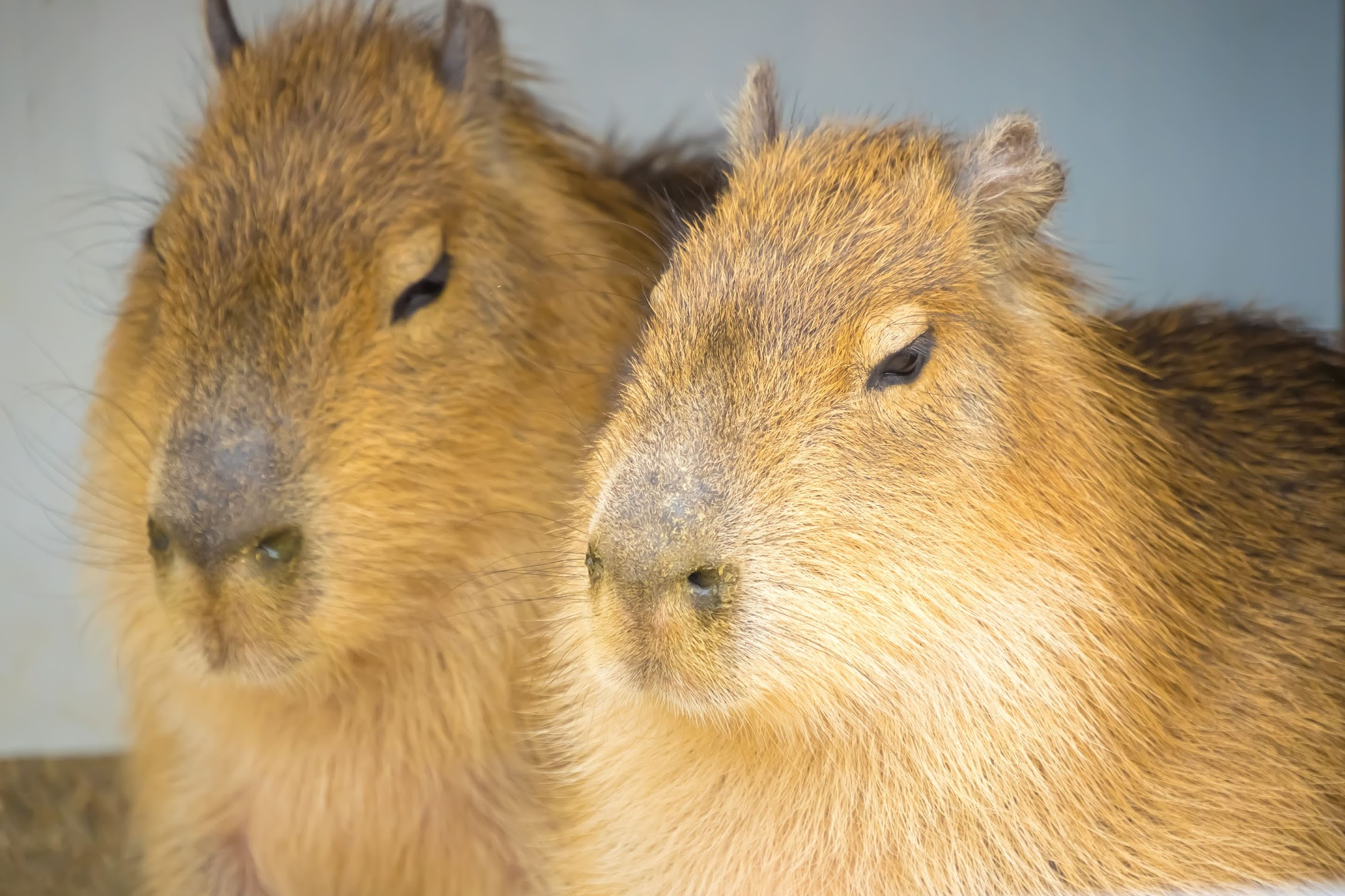 Kobe Oji Zoo capybara