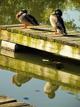 Photo: Two mallard ducks on a dock and their reflections at Eastwood Park in Dayton, Ohio.