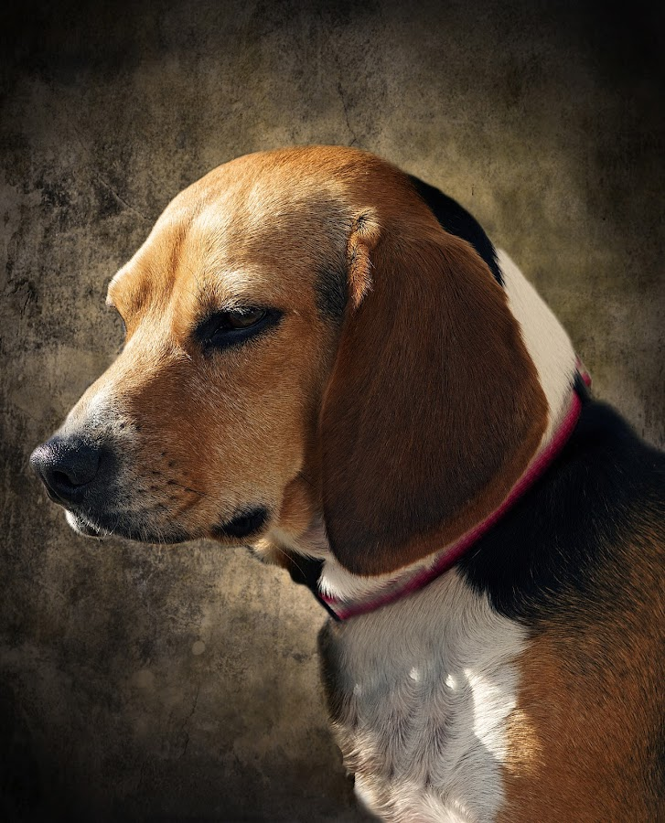 Regal Beagle by Amy Gant - Animals - Dogs Portraits