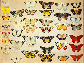 Photo: Drawer of butterflies from Alfred Russel Wallace's private insect collection. These are all members of the family Pieridae - one of Wallace's favorite groups of butterflies. This shows the collection before it was purchased by the Natural History Museum, London and transferred into different drawers. Copyright George Beccaloni