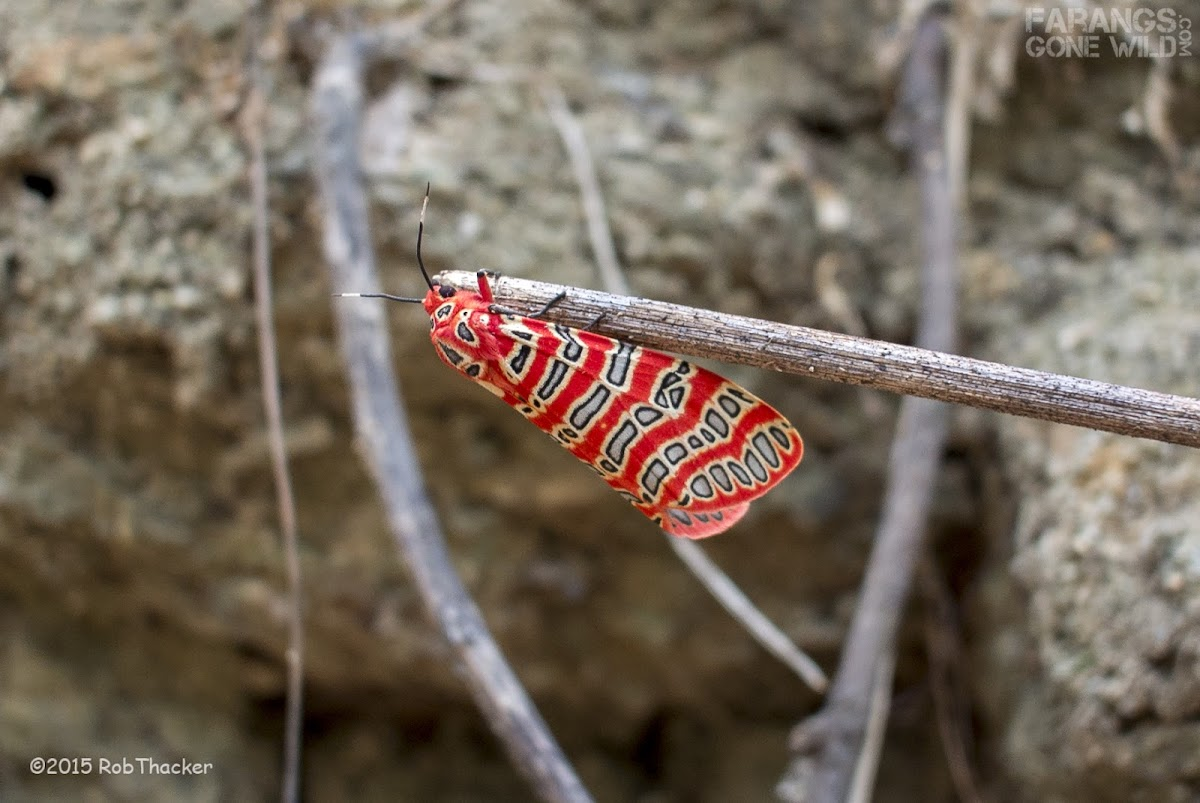 Arctiidae moth