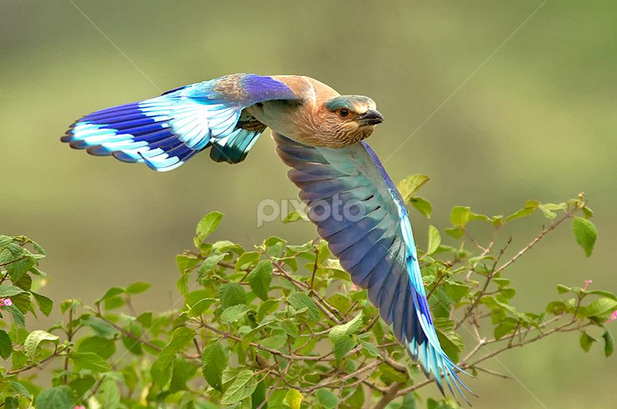 INDIAN ROLLER by Subramanniyan Mani - Animals Birds ( fantastic wildlife )