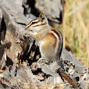 Gray-footed chipmunk