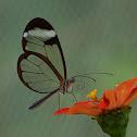 Mariposa Espejito / Cristal Wings Butterfly