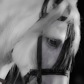 White Horse by George Nichols - Animals Horses (  )