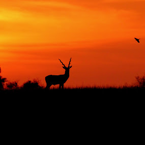 Solitude - Blackbuck in Silhouette by Anjani Kumar - Animals Other Mammals ( animals, blackbuck, sunset, silhouette, solitude, anjani )