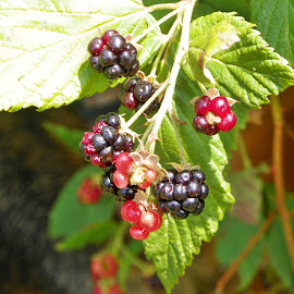Blackberries by Sandy Stevens Krassinger - Food & Drink Fruits & Vegetables ( blac, fruit, red, green, blackberries, leaves,  )