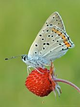 Photo: Cuivré Fuligineux / Argus Myope, Lycaena Tityrus http://lepidoptera-butterflies.blogspot.com/ https://www.facebook.com/pages/Macro-Photography-Do-Dema/540798875993427