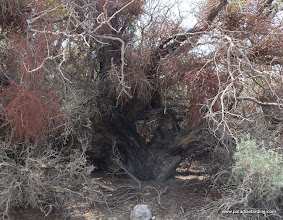 Photo: Old-growth mesquite snag at the edge of Clark Dry Lake; Anza Borrego Desert State Park