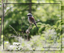 Photo: Törnskata - Lanius collurio - Red-backed Shrike