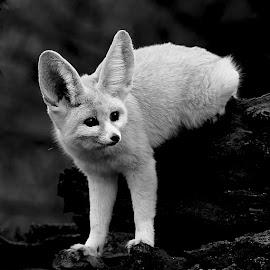 Sur deux pattes by Gérard CHATENET - Black & White Animals