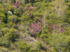 Photo: 旭岳の斜面にムラサキヤシオ