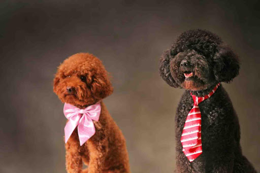 Toy Poodle Wallpaper