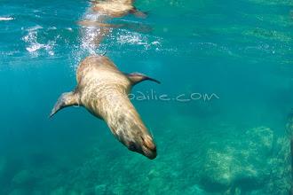 Photo: Underwater view of sea lion swimming in the Sea of Cortez, Mexico