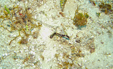 Photo: Pipehorse fish