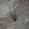 黃斑椿象 (Yellow Marmorated Stink Bug)