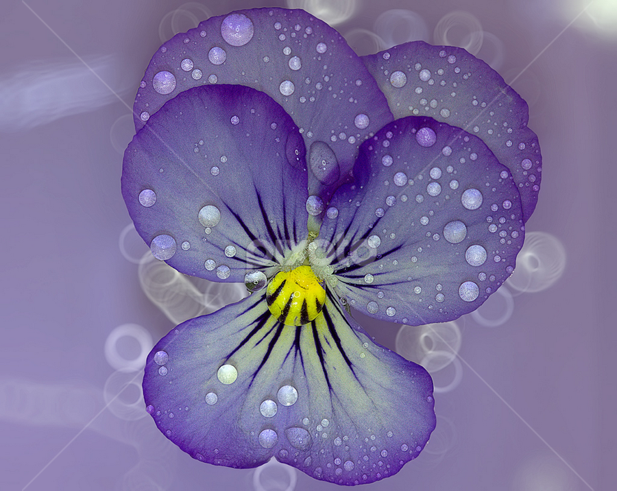 Water soaked pansy with water drops by Nikola Vlahov - Nature Up Close Flowers - 2011-2013